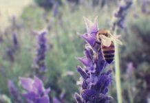 lavanda-ostuni ostuninews benefici ape giardino