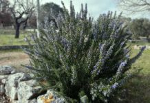 rosmarino ostuninews-erboristeria ricetta coltivazione
