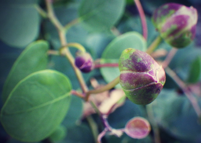 Capperi: tutti i benefici di una pianta mediterranea